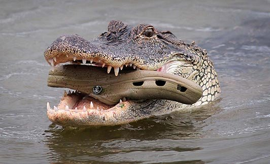 "A Gator Eating A Croc. The Most ""Florida"" Picture Ever."